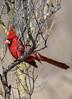Northern Cardinal (Cardinalis cardinals) (francisgmorgan) Tags: cardinal northerncardinal