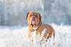 SHA_0825 (andreyshkvarchuk) Tags: dog doguedebordeaux mastiff winter snow
