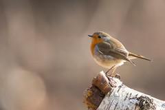 Robin (Guido de Kleijn) Tags: robin europeanrobin erithacusrubecula nikond500 nikon200500f56 guidodekleijn solleveld monster dunes duinen roodborst roodborstje