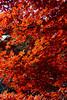 IMG_3781 (Matthew_Li) Tags: red leaf japan maple leaves