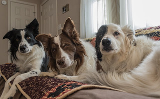 The Extra-ordinary Crawford Collies  :)