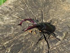 IMG_2164 Nagy szarvasbogár (Lucanus cervus) hím (NagySandor.EU) Tags: lucanidae nagyszarvasbogár lucanuscervus szarvasbogár szarvasbogárfélék törökbálint hungary hím male