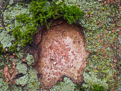 Liken the Lichen & Moss 1 of 3 (Orbmiser) Tags: mzuikoed1240mmf28pro 43rds em1 mirrorless olympus ore portland m43rds tree trunk moss lichen