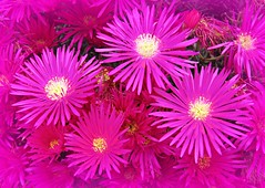 Mass Of Pink! ('cosmicgirl1960' NEW CANON CAMERA) Tags: pink flourescent flowers worldflowers daisies daisy yellow petals bright colourful spain ojen espana andalusia costadelsol parks gardens nature travel holidays yabbadabbadoo