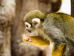 Totenkopfaffe (schasa68) Tags: austria wien vienna tierpark zoo tiergarten tier affe affenhaus animal totenkopfaffe tierportrait tierphotograhie monkey