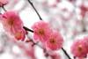 IMG_1631 (okiee8125) Tags: 梅の花