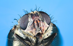 Housefly (Xuberant Noodle) Tags: macro big bright bug close closeup domestica entomology eye face facet faceted flash fly hair hairy high house housefly insect large light magnification magnified microscope multi multifaceted musca res resolution studio up zoom zoomed
