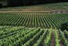 grape fields (AnnaKalinina) Tags: grape fields france stemilion village greeny green