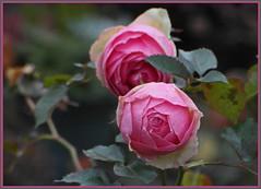Januarrose ... einen schönen Tag ... (Kindergartenkinder) Tags: rose winter kindergartenkinder