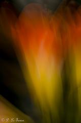 Rêverie florale 009 (letexierpatrick) Tags: fleursfilés fleur fleurs flowers flower floraison abstrait abstraction flou couleur couleurs colors botanique garden jardin nikond7000 nikon nature