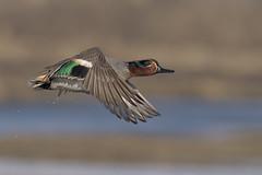 Alzavola (Ricky_71) Tags: eurasian teal anas crecca flight winter colors nikon