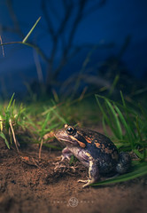 Banjo Frog/Pobblebonk (Limnodynastes dumerilii) (Kristian Bell) Tags: banjo frog amphibian wild wildlife portrait wideangle pobblebonk vertebrate fauna australia melbourne victoria kris kristian laowa sony bell