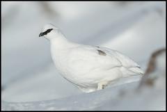 Ptarmigan In Explore 29-01-18 (Thomas Winstone) Tags: canon300mmf28ii winter snow cairngorms canon1dx2 canon gamebird bird scotland unitedkingdom gb ptarmigan