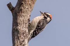 Downy Woodpecker (m) (Becky Matsubara) Tags: avian bird birds california dowo downywoodpecker ebrpd eastbayregionalparks nature outdoors picmineur picoidespubescens sobranteridge sobranteridgeregionalpreserve wildlife woodpecker ebparksok