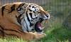 Siberian Tiger - Safaripark Beekse Bergen (Mandenno photography) Tags: animal animals african siberian tiger tijger tigers tijgers safari safaripark beekse bergen ngc nederland netherlands nature