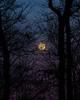 Super Blue Moon Rising on Mossy Ridge (mikerhicks) Tags: bluemoon moonrise mossyridgetrail nashville nature percywarnerpark sonya6500 supermoon tennessee usa unitedstates vaughnsgap winter outdoors geo:location=vaughnsgap exif:focallength=105mm camera:make=sony exif:lens=epz18105mmf4goss exif:make=sony exif:aperture=ƒ67 geo:country=unitedstates geo:lat=36067985 geo:state=tennessee geo:city=nashville geo:lon=8688267 exif:isospeed=400 camera:model=ilce6500 exif:model=ilce6500