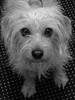 This is Liisa (evisdotter) Tags: liisa hund animal bw blackwhite
