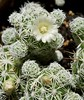 cacti bud and bloom (rfl888) Tags: cacti flower spines