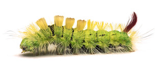 Calliteara pudibunda (1)