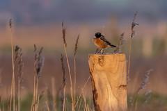 Stonechat - Uitkerkse polder - Belgium (wietsej) Tags: stonechat uitkerkse polder belgium sony rx10 iv rx10m4 bird roodborsttapuit rx10iv