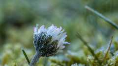 still alive (in explore) (Alta Alteo) Tags: gänseblümchen bellisperennis bellis daisy garten winter frost raureif