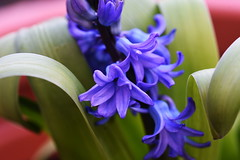 DSC_8831 Hyacinths (PeaTJay) Tags: nikond750 sigma reading lowerearley berkshire macro micro closeups gardens outdoors nature flora fauna plants flowers hyacinths