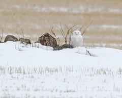 Snowy Owl (Bubo scandiacus) (svizzerams2010) Tags: washington unitedstates us snowyowl douglascounty watervilleplateau raptor winter white predator owl mansfield zen peaceful