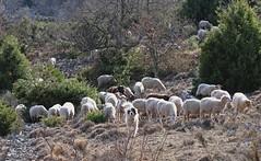 le Patou veille au grain (b.four) Tags: mouton sheep pecora chie cane dog patou baousaintjeannet alpesmaritimes coth5