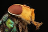 Studio macro: blue fly (embebu) Tags: stacking focus focusing flies fly macro macrophotography magnification macrography mitutoyo