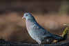 Stock Dove - (Columba oenas) 'L' for large (hunt.keith27) Tags: stock doves similar plumage size rock dovesferal pigeons bluegrey iridescent bottle green band back neck pink chest two partial black bands near their bac