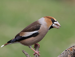 18 02 2018 (cathyk31) Tags: coccothraustescoccothraustes fringillidés grosbeccassenoyaux hawfinch passériformes bird oiseau