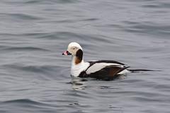 Long-tailed Duck (Jim McCree) Tags: longtailedduck clangulahyemalis yorkmaine nubblelight male february 2018