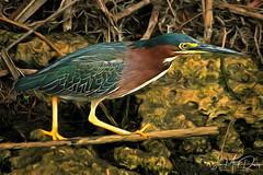 Green Heron (QuakerVille) Tags: jonmarkdavey 2018 wildlife wetland birds greenheron greenheronjonmarkdavey deerfieldbeach fl usa