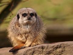 Meerkat (jeff.dugmore) Tags: england uk britain europe westmidlands midlands dudley meerkat zoo dudleyzoo winter animal wildlife nature bokeh stone rock green olympus