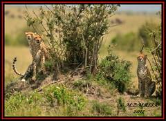 FEMALE CHEETAH WITH HER CUBS (Acinonyx jubatus).....MASAI MARA....SEPT 2017. (M Z Malik) Tags: nikon d3x 200400mm14afs kenya africa safari wildlife masaimara keekoroklodge exoticafricanwildlife exoticafricancats flickrbigcats cats cheetahfamily ngc npc