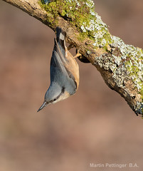 Nuthatch-8915 (martinpettinger) Tags: nuthatch winter afternoon lichen mossy branch somerset england light soft acrobatic balancing control amazing defying gravity