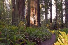 Redwoods National Park (Jeffrey Neihart) Tags: jeffreyneihart redwoods california trees ladybirdjohnson grove sunbeam path drivethrutree ferns