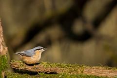 Sitelle Torchepot (autainvillois) Tags: passeareaux forêt oiseaux birds couleurs nature