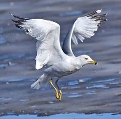 Finally, A Chance To Get Out (Vidterry) Tags: gull seagull ringbilledgull cedarlake februarythaw