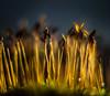 Sunlit Sporophytes (Don White (Burnaby)) Tags: 10mm extensiontube flowersplants macro nw524 nikon50mm18d bokeh sunlit sporophytes