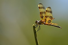 Butterscotch Dragonfly perched on sunny stem (jungle mama) Tags: dragonfly butterscotch wing stem egg wingshorizontal larvae damselfly coth5 ngc lace npc