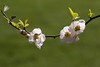 Smile on Sunday (Irina1010) Tags: bush branch flowering blossom floweringquince white bokeh nature spring 2018 canon ngc coth5 npc