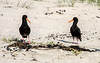 Oystercatchers (Kiwi-Steve) Tags: nz newzealand nikon nikond7200 oystercatcher bird nature beach