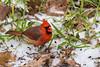 Cold Cardinal (TimHerbert) Tags: bird texas houston northerncardinal cardinal