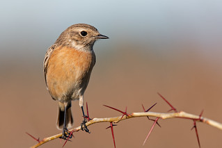 European stonechat female