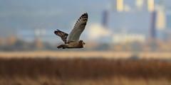 Short Eared Owl (Cal Killikelly) Tags: short eared owl blue brown wildlife dee estuary marshlands industry bokeh cheshire northwest england uk winter