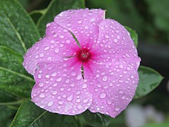 Bizzy Droplets! ('cosmicgirl1960' NEW CANON CAMERA) Tags: flowers worldflowers parks gardens nature ojen spain espana andalusia costadelsol travel holidays yabbadabbadoo
