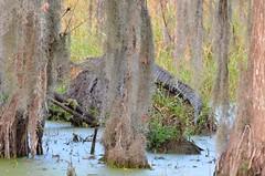 O2K_4804 (68photobug) Tags: 68photobug nikon d7000 sigma 150500mm usa centralflorida polkcounty lakeland circlebbar reserve preserve refuge park marsh sanctuary wetlands pinescrub nature naturecenter discoverycenter environmentalcenter wildlifemanagement alligatoralley gator predator alligatormississippiensis alligator americanalligator