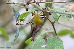 Firecrest (Georgiegirl2015) Tags: birds crests firecrest countryside canon cardiff river rivertaff avian wildlife wales winter visitor ef300mm dellalack january2018 park sophiagardens