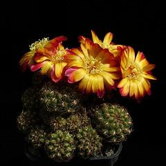 Sulcorebutia steinbachii subsp. krugerae var. hoffmannii HS90 '370' (Pequenos Electrodomésticos) Tags: cactus cacto flower flor sulcorebutia sulcorebutiahoffmanniana